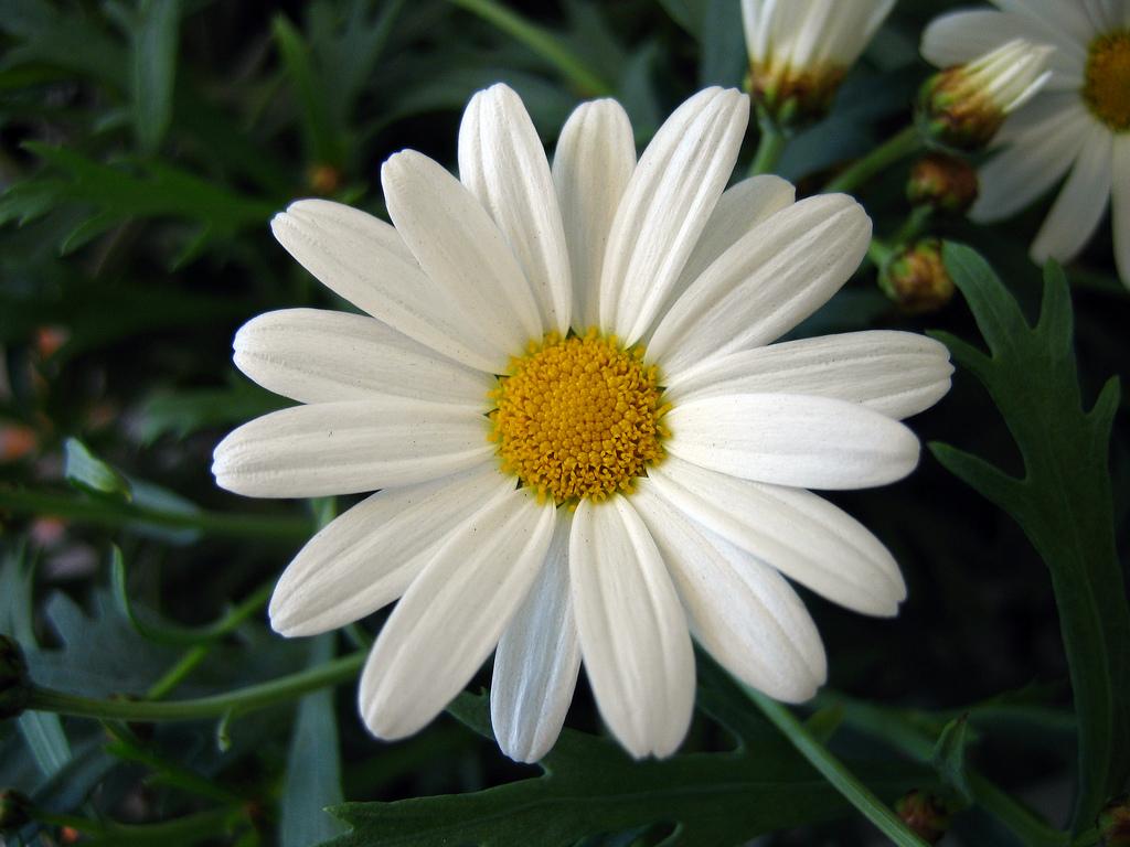 Marguerite-Daisy-flowers-724870_1024_768