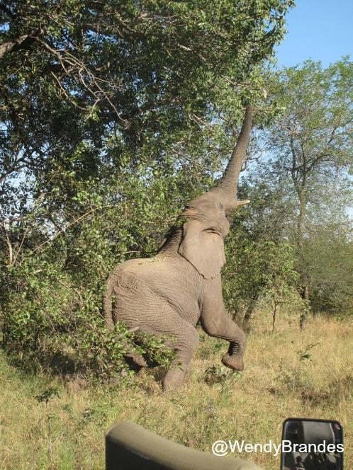 elephantresize